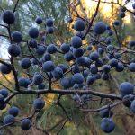 prunelles sur une branche