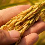épi de riz