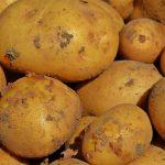 photo de pommes de terre